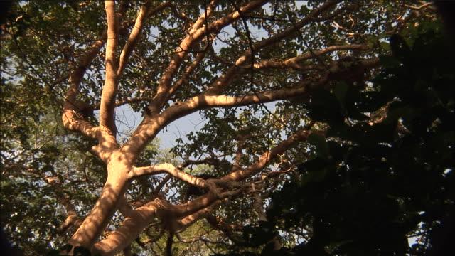 vídeos y material grabado en eventos de stock de chimpanzees in fig tree, kibale, uganda - chimpancé común
