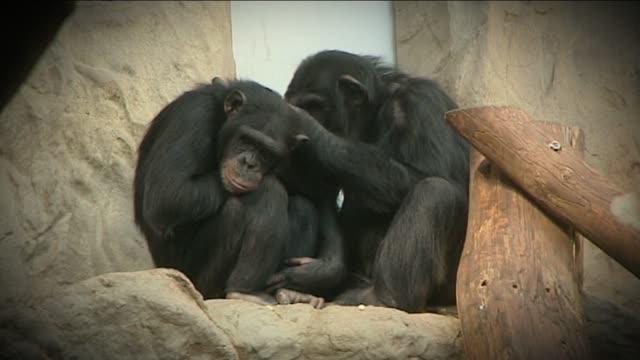 chimpanzees in zoo - neuweltaffen und hundsaffen stock-videos und b-roll-filmmaterial