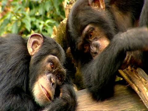 vídeos y material grabado en eventos de stock de cu 2 chimpanzees lying side-by-side on log - chimpancé común
