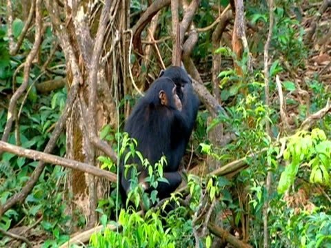 chimpanzees (pan troglodytes) mother carrying young on back up tree, sits on branch. mother urges young to sit on her lap, sierra leone - auf dem rücken liegen stock-videos und b-roll-filmmaterial