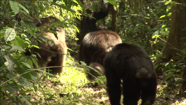 chimpanzees on hunt in forest, kibale, uganda - common chimpanzee stock videos & royalty-free footage