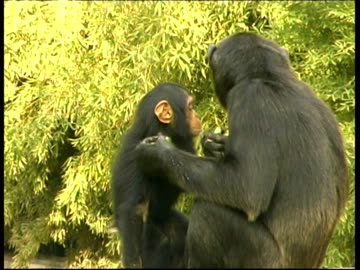 vidéos et rushes de chimpanzees, pan troglodyte, mother eats food and kisses baby, baby picks nose and eats contents, soft focus fresh green leaves in background - chimpanzé