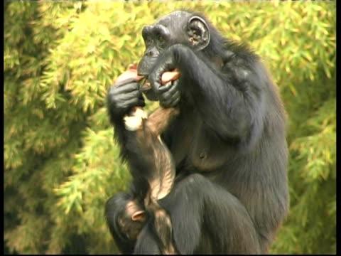vidéos et rushes de chimpanzees, pan troglodyte, mother holding wriggling baby son, cu, israel - chimpanzé