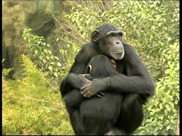vidéos et rushes de chimpanzees, pan troglodyte, portrait as mother hugs baby son, cu, israel - chimpanzé