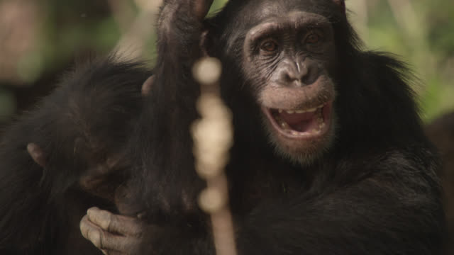 chimpanzees (pan troglodytes) play and tussle on termite mound, senegal - chimpanzee stock videos & royalty-free footage