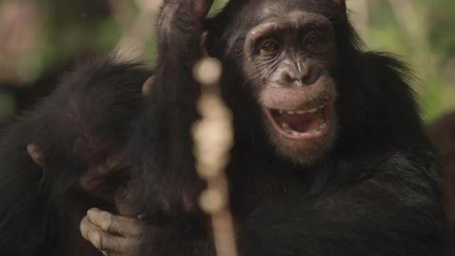 vidéos et rushes de chimpanzees (pan troglodytes) play and tussle on termite mound, senegal - chimpanzé