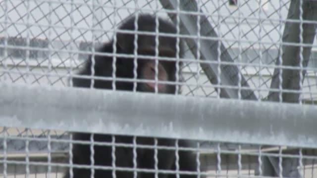 vídeos y material grabado en eventos de stock de chimpanzees play, interact with caregiver - chimpancé