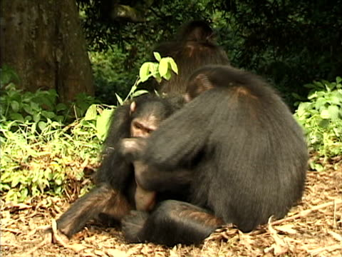 ms pan chimpanzees playing and swinging from branch, then another chimp jumps up and hits mother and her young / tanzania - 攻撃的点の映像素材/bロール