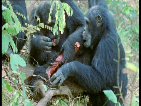 vídeos y material grabado en eventos de stock de chimpanzees pull at and eat red colobus carcass, gombe national park, tanzania - chimpancé