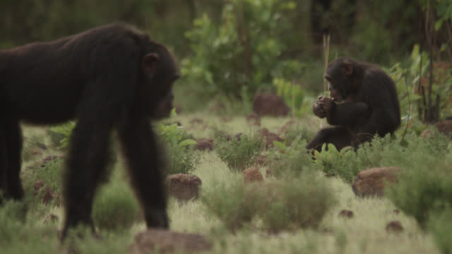 chimpanzees (pan troglodytes) relax in forest clearing, senegal - chimpanzee stock videos & royalty-free footage