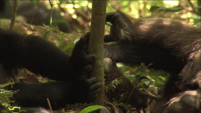 vídeos y material grabado en eventos de stock de chimpanzees relax in forest, kibale, uganda - chimpancé común