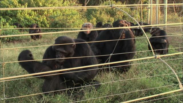 ms zi chimpanzee's sitting in forest / ngamba chimp sanctuary, ngamba island, uganda - fence stock videos & royalty-free footage