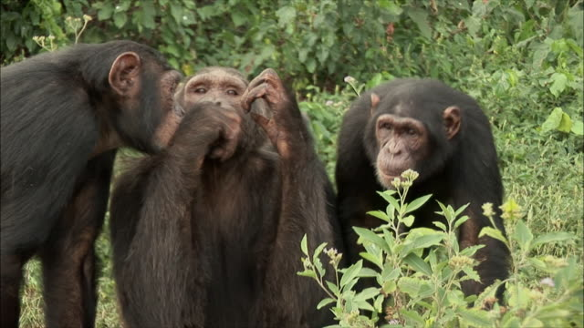 cu zi chimpanzee's sitting in forest / ngamba chimp sanctuary, ngamba island, uganda - chimpanzee stock videos & royalty-free footage