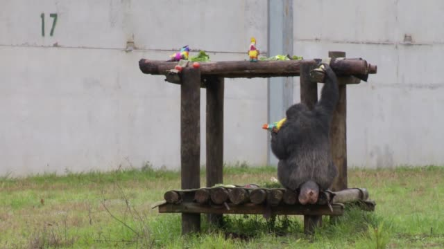 chimpanzees use sticks as tools to hunt for food at termite mound at refuge