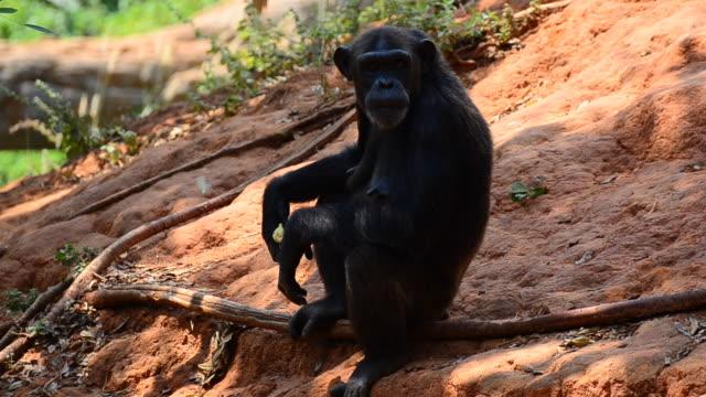 chimpanzees - chimpanzee stock videos & royalty-free footage