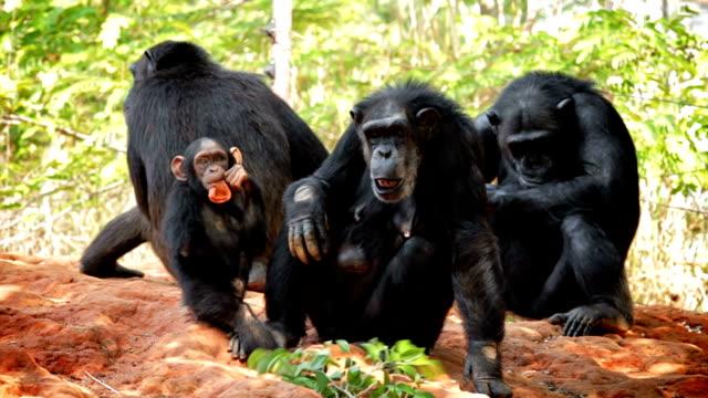 vidéos et rushes de des chimpanzés. - chimpanzé