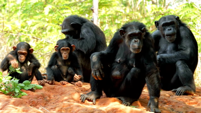 chimpanzees. - chimpanzee stock videos & royalty-free footage