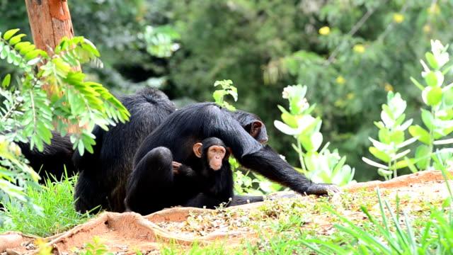 vídeos y material grabado en eventos de stock de chimpanzees - chimpancé