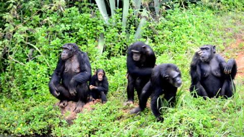vidéos et rushes de des chimpanzés - chimpanzé