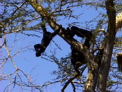 chimpanzees - artbeats stock videos & royalty-free footage