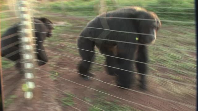 WS PAN Chimpanzee's walking in row / Ngamba Chimp Sanctuary, Ngamba Island, Uganda