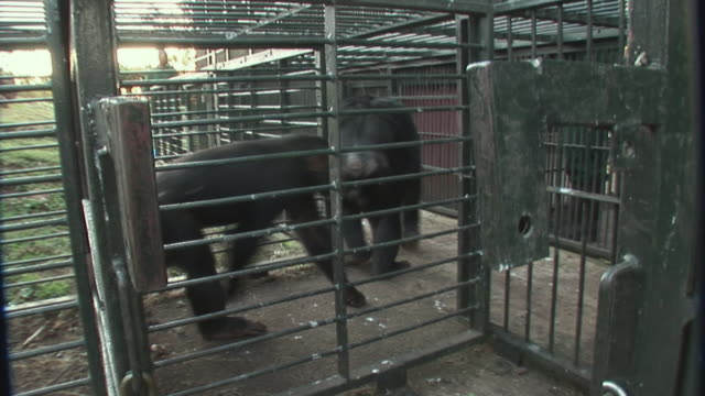 vidéos et rushes de ms chimpanzee's walking into cage / ngamba chimp sanctuary, ngamba island, uganda - faune sauvage