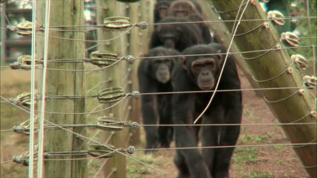 vídeos de stock e filmes b-roll de ms chimpanzee's walking out of cage / ngamba chimp sanctuary, ngamba island, uganda - jardim zoológico
