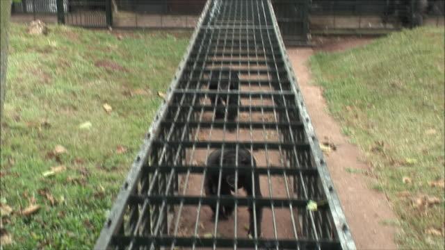 ws pan chimpanzee's walking through cage / ngamba chimp sanctuary, ngamba island, uganda - 動物園点の映像素材/bロール
