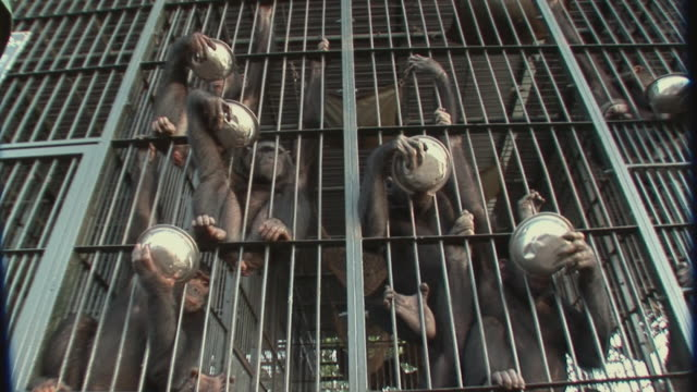 ms chimpanzee's with bowls in cage / ngamba chimp sanctuary, ngamba island, uganda - cage stock videos & royalty-free footage