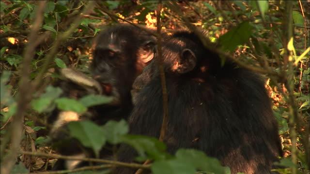 vídeos y material grabado en eventos de stock de chimpanzees with red colobus monkey kill after hunt, kibale, uganda - chimpancé común