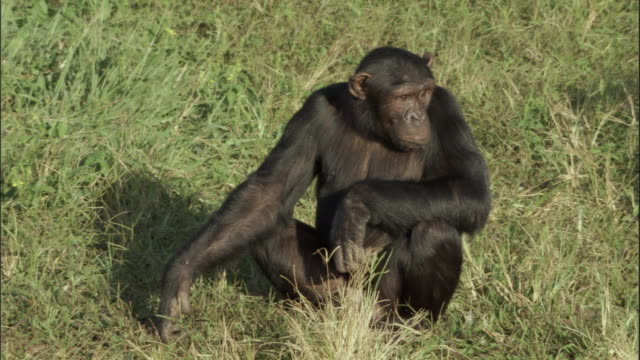 ms chimps copulating, ngamba island chimpanzee sanctuary, ngamba island, uganda - reproduction stock videos and b-roll footage