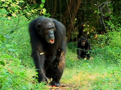 MS, Chimps (Pan troglodytes) family in forest, Gombe Stream National Park, Tanzania