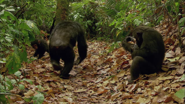 chimps family in the forest - chimpanzee stock videos & royalty-free footage