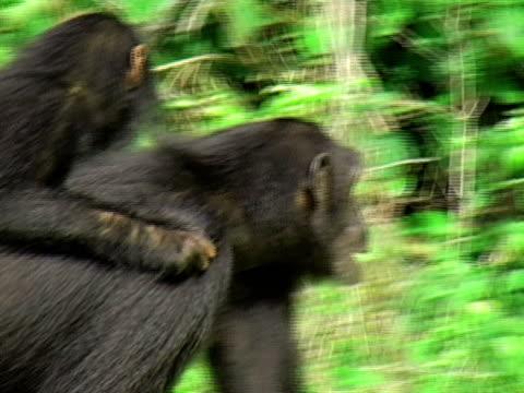 MS, PAN, Chimps (Pan troglodytes) family walking through grass, Gombe Stream National Park, Tanzania