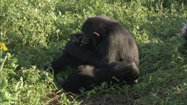 WS Chimps grooming and arguing, Ngamba Island Chimpanzee Sanctuary, Ngamba Island, Uganda