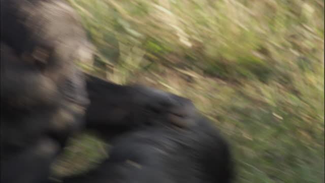 cu zi chimps grooming, ngamba island chimpanzee sanctuary, ngamba island, uganda - groom stock videos and b-roll footage