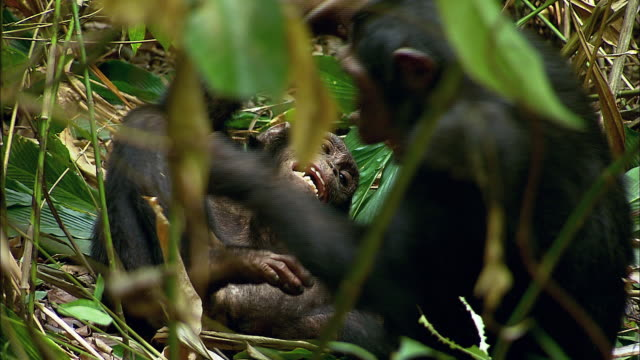 chimps playing - play fight stock videos and b-roll footage