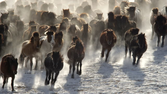 china horses : brown and white horses, galloping in snow - trot animal gait stock videos & royalty-free footage