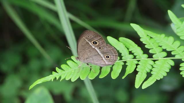 chinese bushbrown butterfly (mycalesis gotama) - gliedmaßen körperteile stock-videos und b-roll-filmmaterial