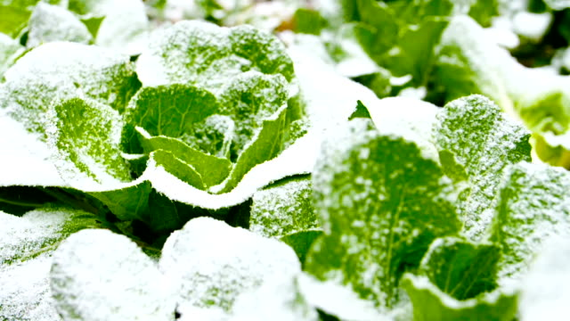 chinese cabbage field with snow - cold temperature stock videos & royalty-free footage