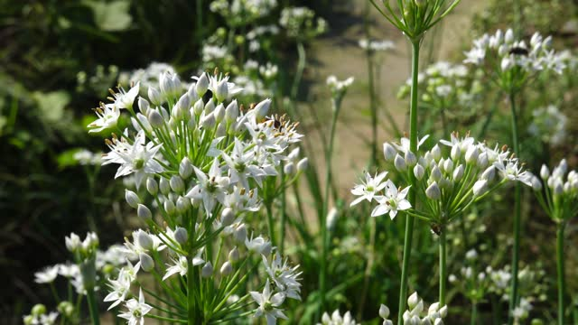 chinese chive blooming in fall under sunshine - chive stock videos & royalty-free footage