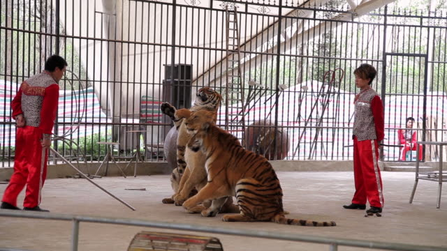 vidéos et rushes de ms chinese circus performing in park  / hanzhong, shaanxi, china - captive animals