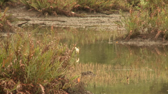 ms chinese egret hunting / kota kinabalu, sabah, malaysia  - egret stock videos & royalty-free footage