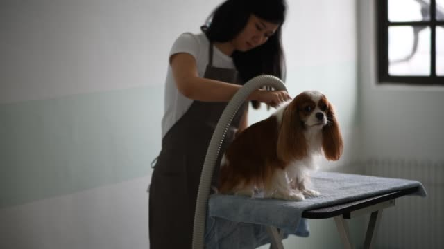 a chinese female dog groomer grooming a cavalier king charles spaniel dog - petshop stock videos and b-roll footage