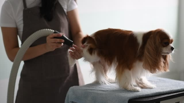 a chinese female dog groomer grooming a cavalier king charles spaniel dog - cavalier king charles spaniel stock videos and b-roll footage