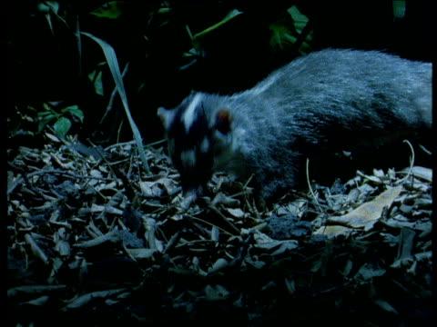 chinese ferret badger forages, thailand - futter suchen stock-videos und b-roll-filmmaterial