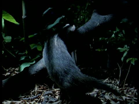 chinese ferret badger sniffs branch, thailand - futter suchen stock-videos und b-roll-filmmaterial