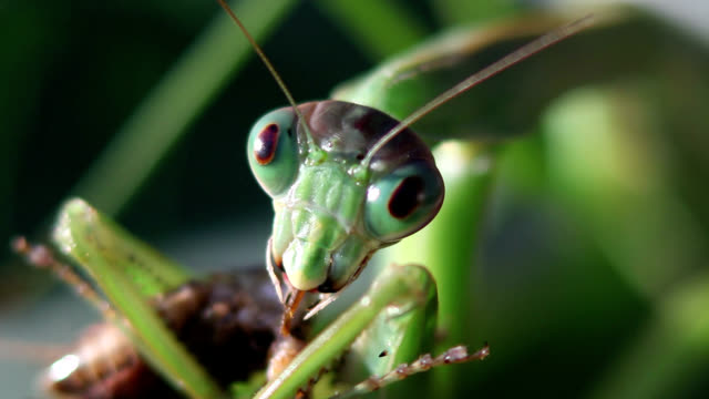 Chinese mantis eating cricket