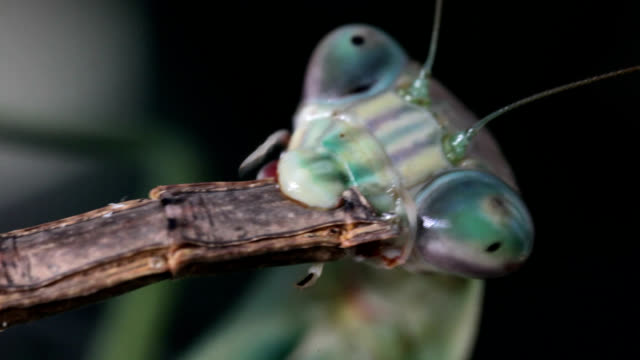 chinese mantis eating walkingstick - insect stock videos & royalty-free footage