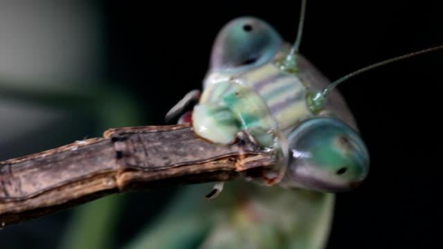 chinese mantis eating walkingstick - walking stick stock videos & royalty-free footage